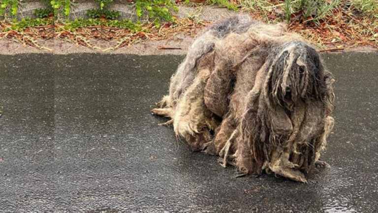 Poor Wookiee was trapped in his own filthy fur and dying because of it!