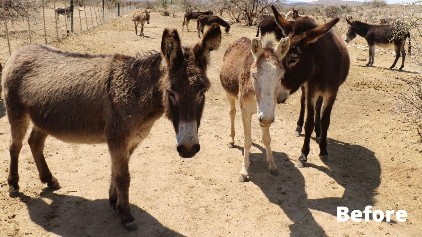 Donkeys Destined For Cruel Chinese Donkey Skin Trade Saved! 1