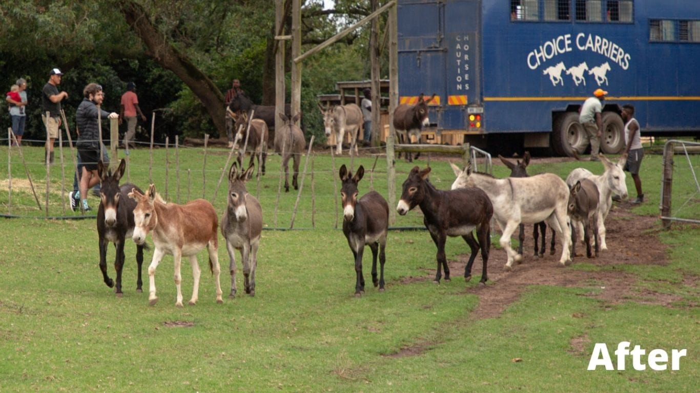 Donkeys Destined For Cruel Chinese Donkey Skin Trade Saved! 2
