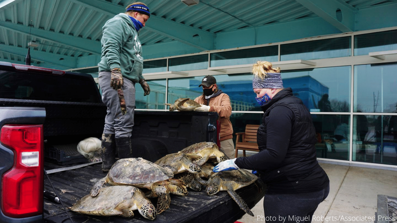 Deep South DEEP FREEZE! Texas sea turtles being FROZEN to DEATH! 4