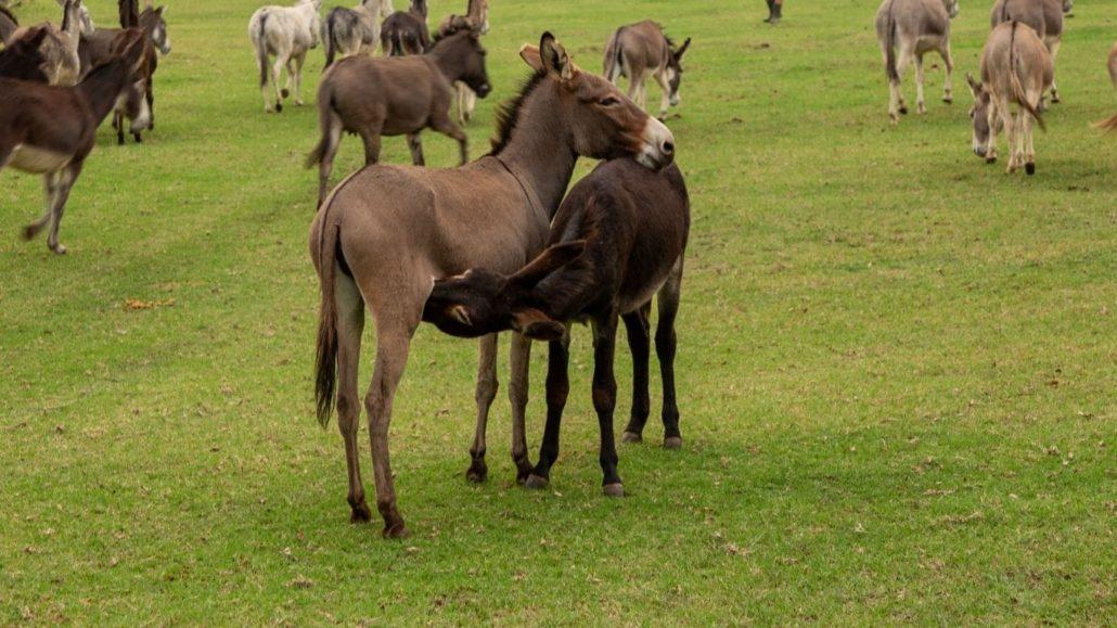 Donkeys destined for cruel Chinese donkey skin trade saved!