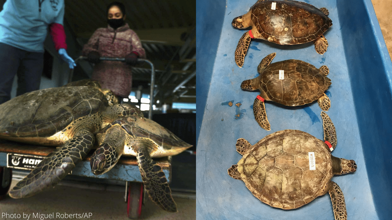 Deep South DEEP FREEZE! Texas sea turtles being FROZEN to DEATH! 5