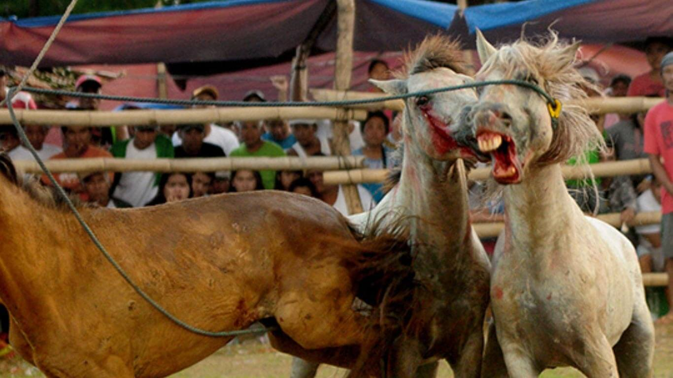 gruesome horse fighting mindanao