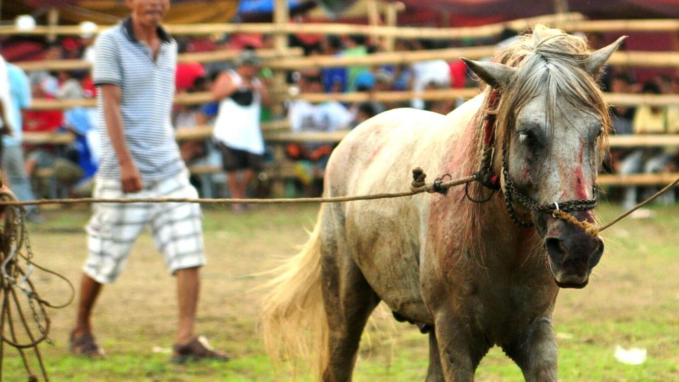 Help us end the gruesome horse figting Mindanao