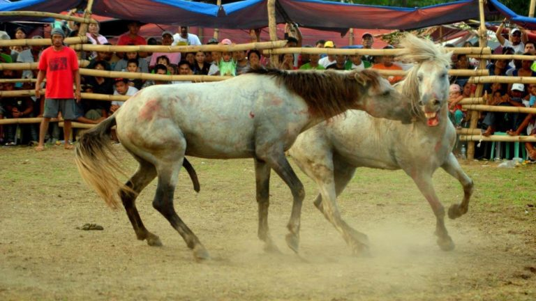 Gruesome Horse Fighting Mindanao