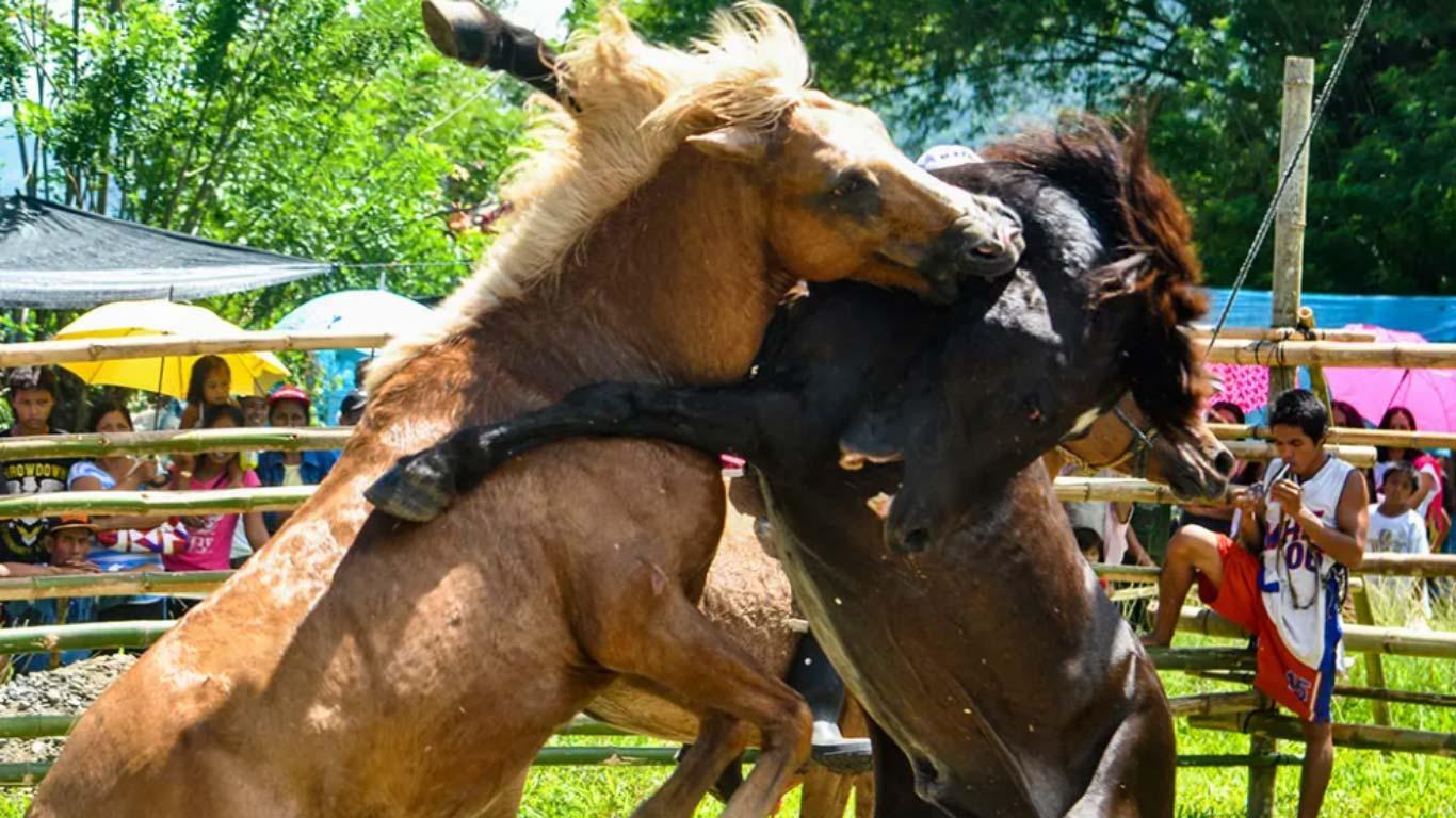 BREAKING NEWS on gruesome horse fighting! 1