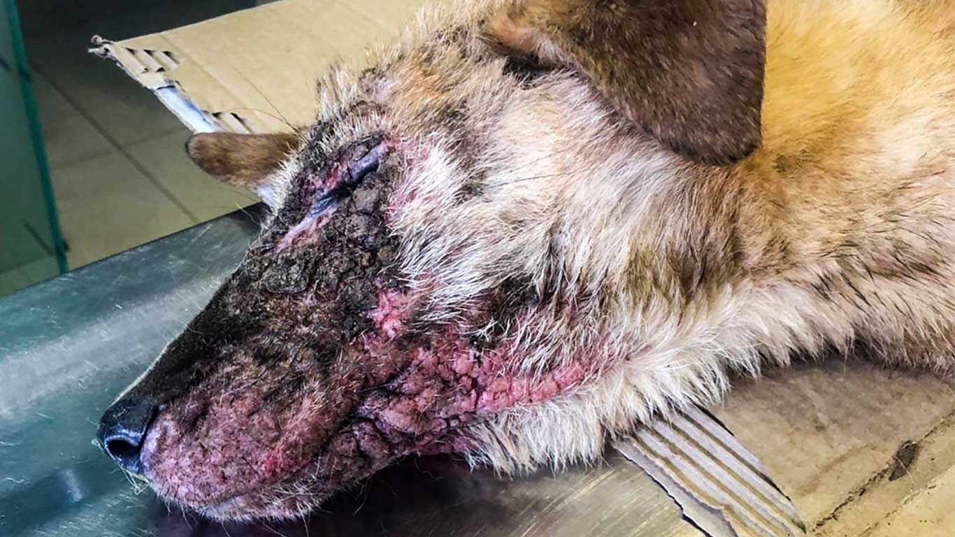 Bethlehem's street dogs are being shot, poisoned and burned with acid! 1