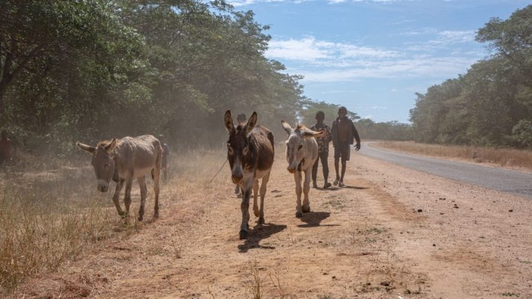 donkeys killed by motorists in zimbabwe