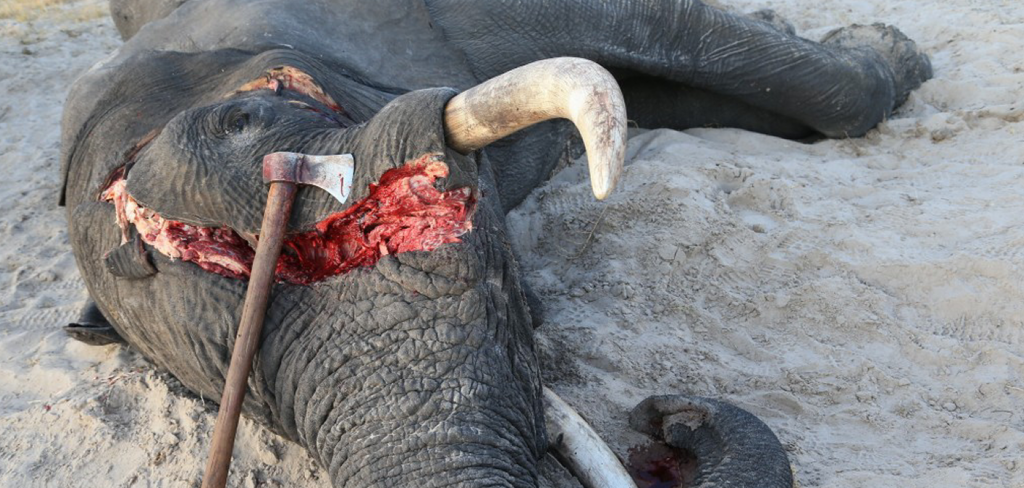 BOTSWANA PRESIDENT CALLS IT A HOAX, BUT ELEPHANT POACHING IS INCREASING 1
