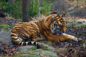 Tiger gets Coronavirus at New York Zoo