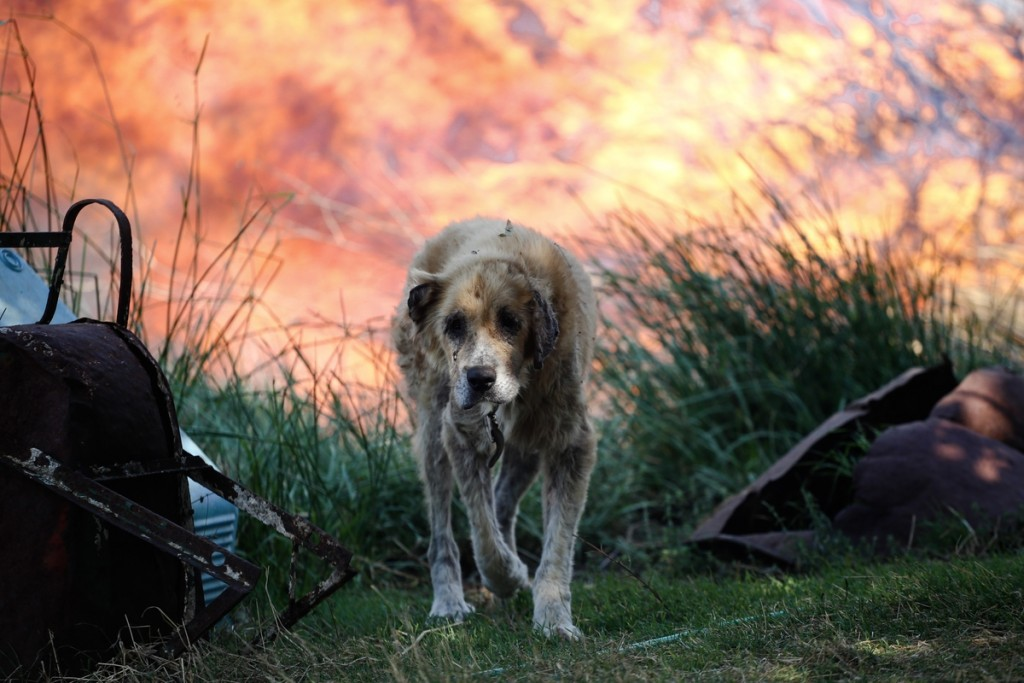 Forest fires in Greece create torment for street dogs 9