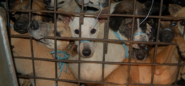 Network for Animals Expose Dog Meat on the Menu at Restaurant Chain 3