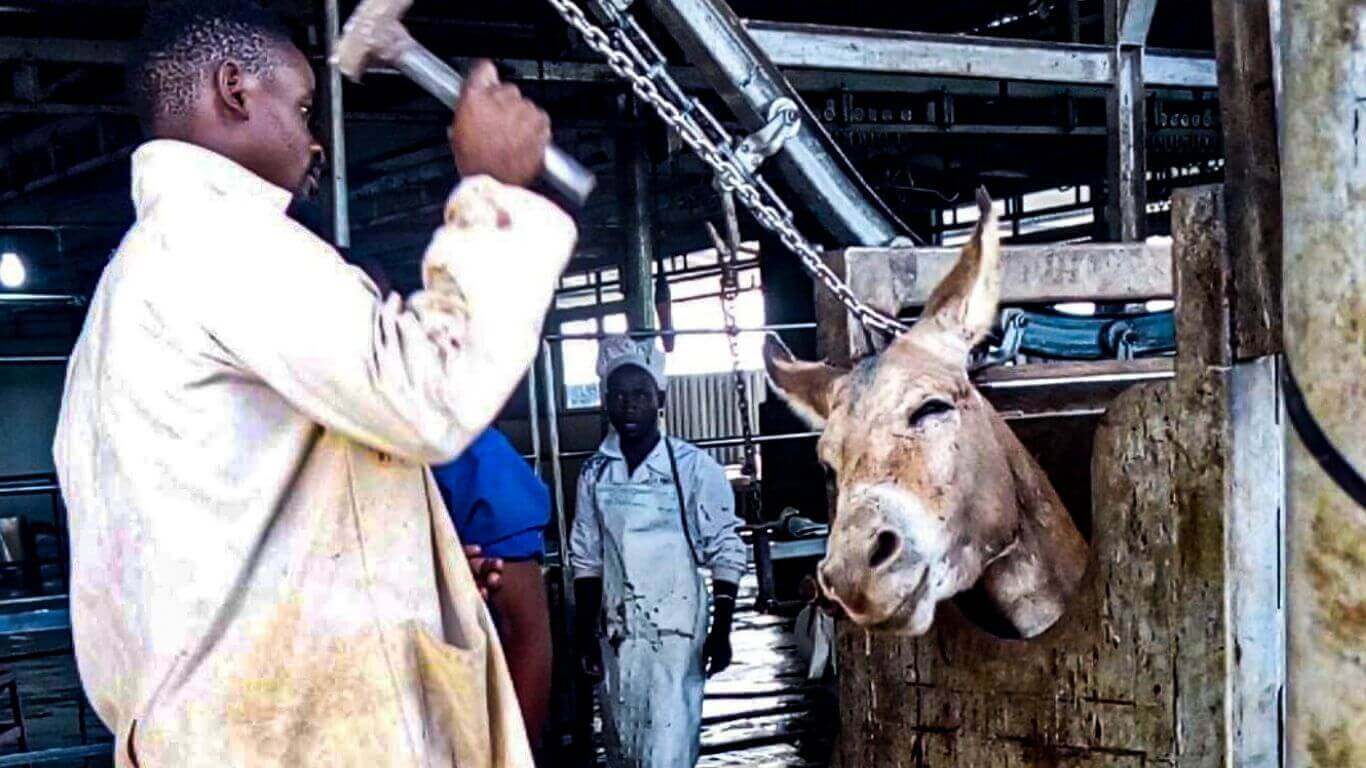 Thousands of Donkeys Bludgeoned To death