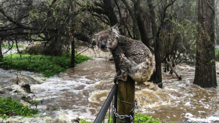 Donate to help the animals drowning in the Australian flood Emergency