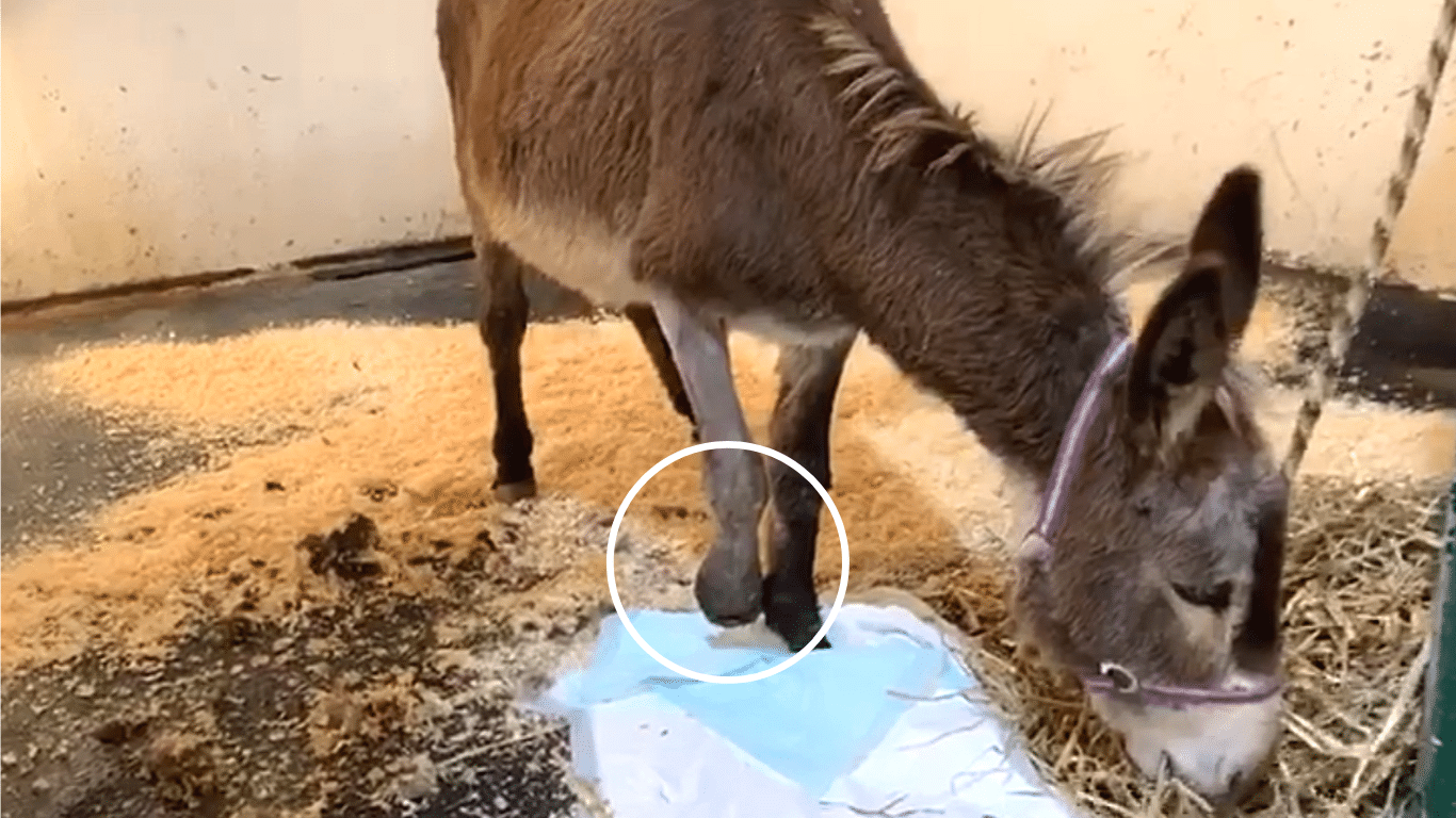 HORRIBLE CRUELTY! Pregnant donkey loses a foot to a steel-jawed trap! 1