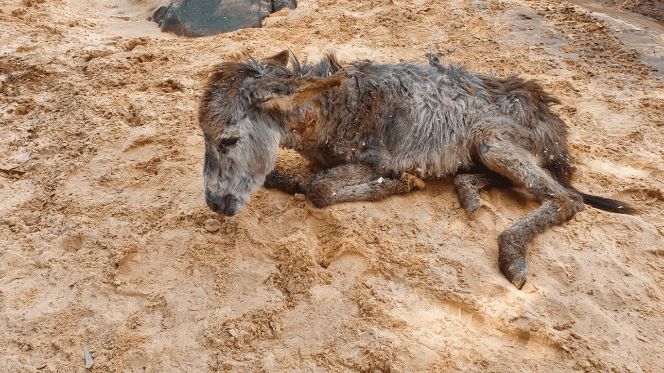 tortured baby donkey