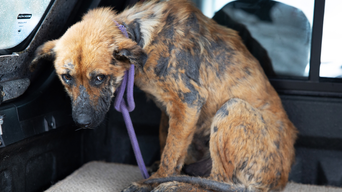 Sam was starving, covered in mange and lay shivering in the mud and his own feces… 2