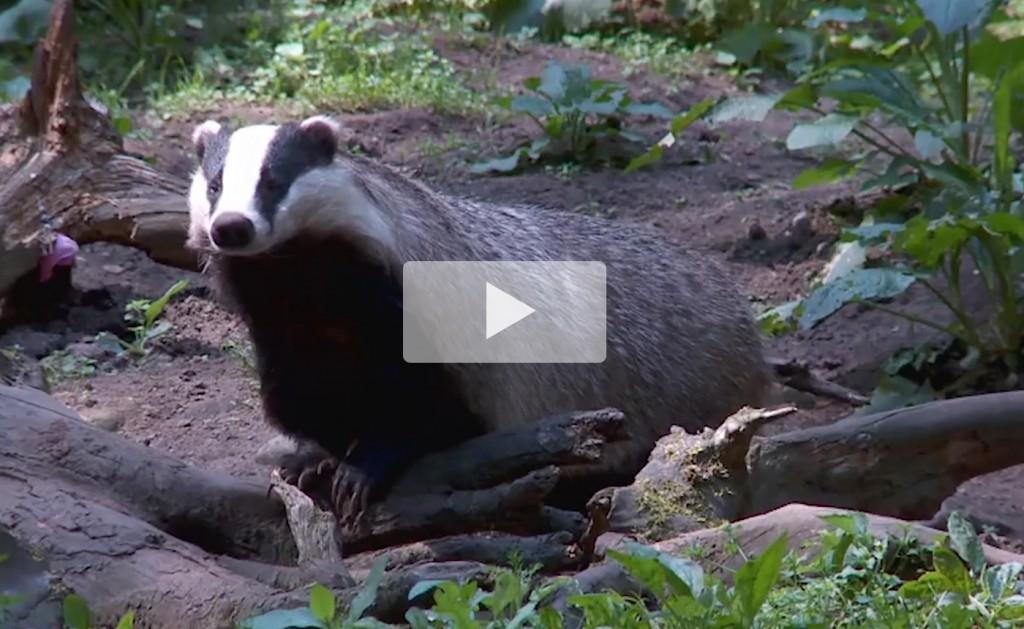 Badger Shooting