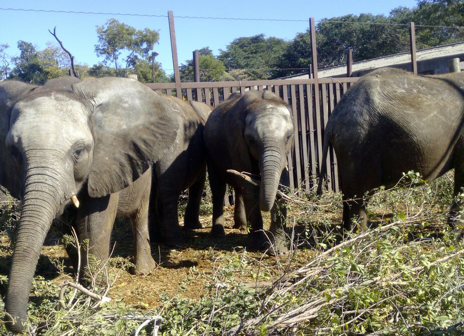 Zimbabwe Sends Baby Elephants to a Life of Hell 2