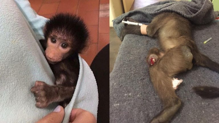 Baby Baboon Tortured