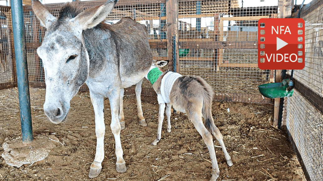 UPDATE: Dash The Brutalized Baby Donkey Is REUNITED With His Mother! 1