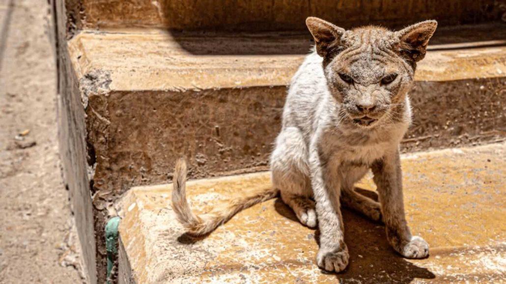 Kenya Lamu Cats