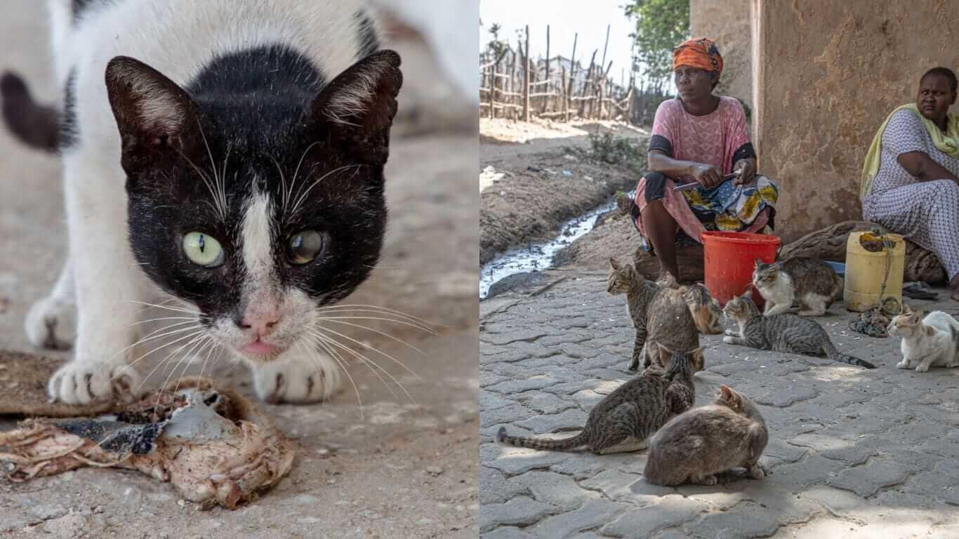 Hundreds of Lamu Cats die everyday