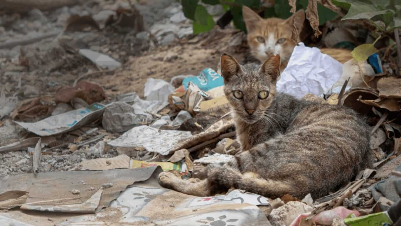 Lamu Cats Sterilization