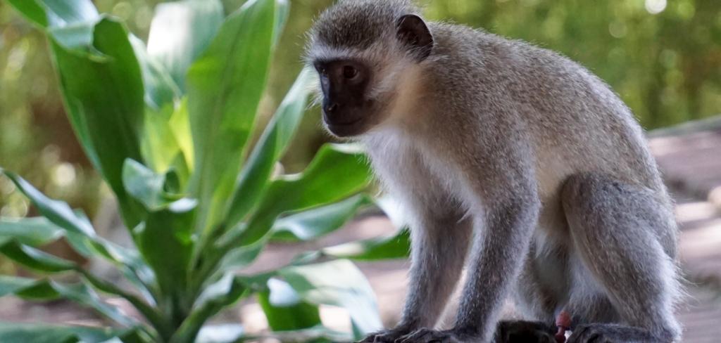 Monkeys poisoned in South Africa, reward offered 12