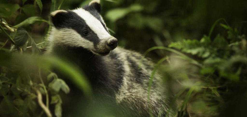 Legal challenge to the pointless badger cull 8