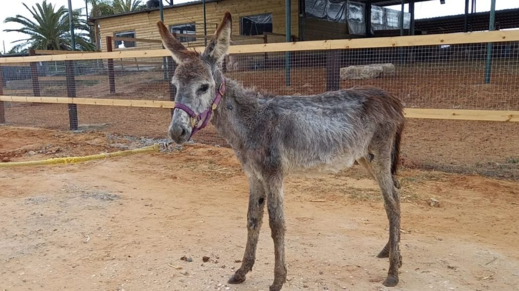 Natalie, The Baby Donkey, Is On The Mend!