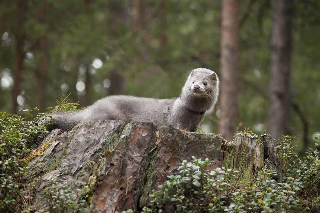 Network For Animals Slams Denmark's Rushed COVID-19 Mink Massacre 1