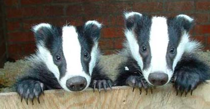 Network For Animals Welcomes Talks On UK Badger Cull 30