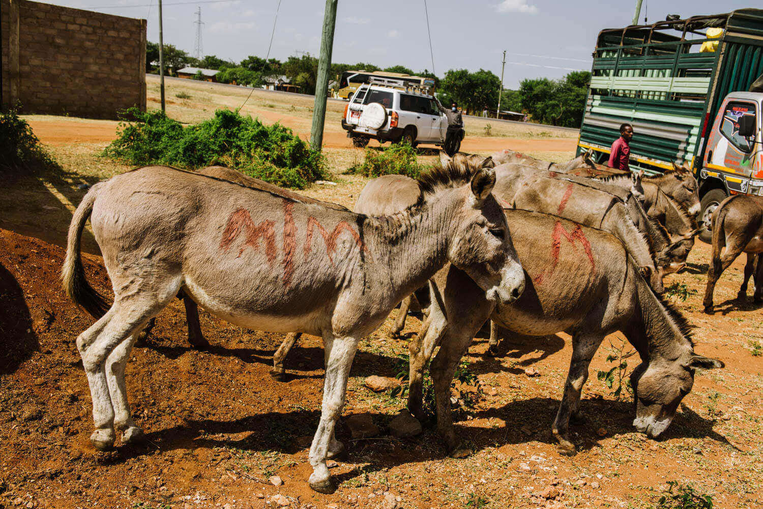 Thousands of donkeys are bludgeoned to death EVERY MONTH at Chinese-run slaughterhouse
