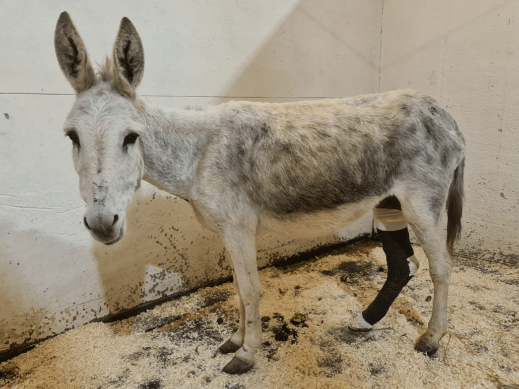 GREAT NEWS FROM ISRAEL! Nicky the brutalized donkey is going to survive! 1