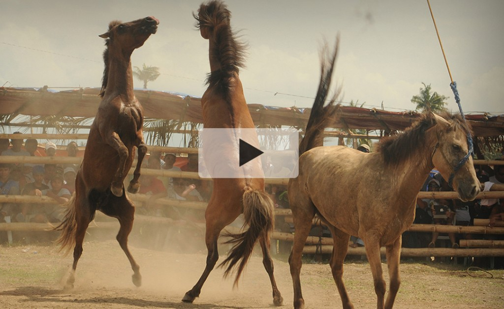 Video Introduction: Organized Horse Fighting 15