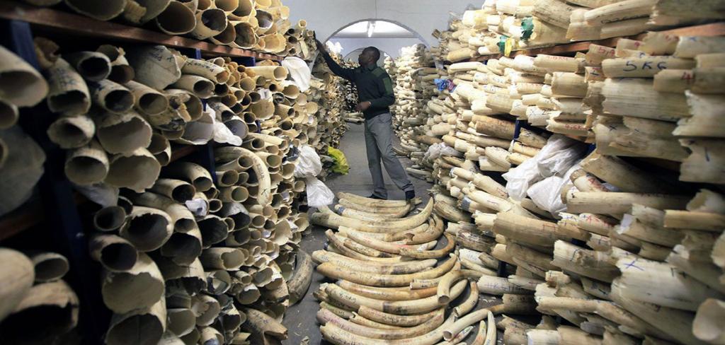 Ex-Zimbabwe mayor held for possession of elephant tusks 7