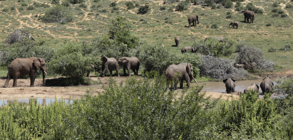 Elephants could be wiped out in just over a decade! 8