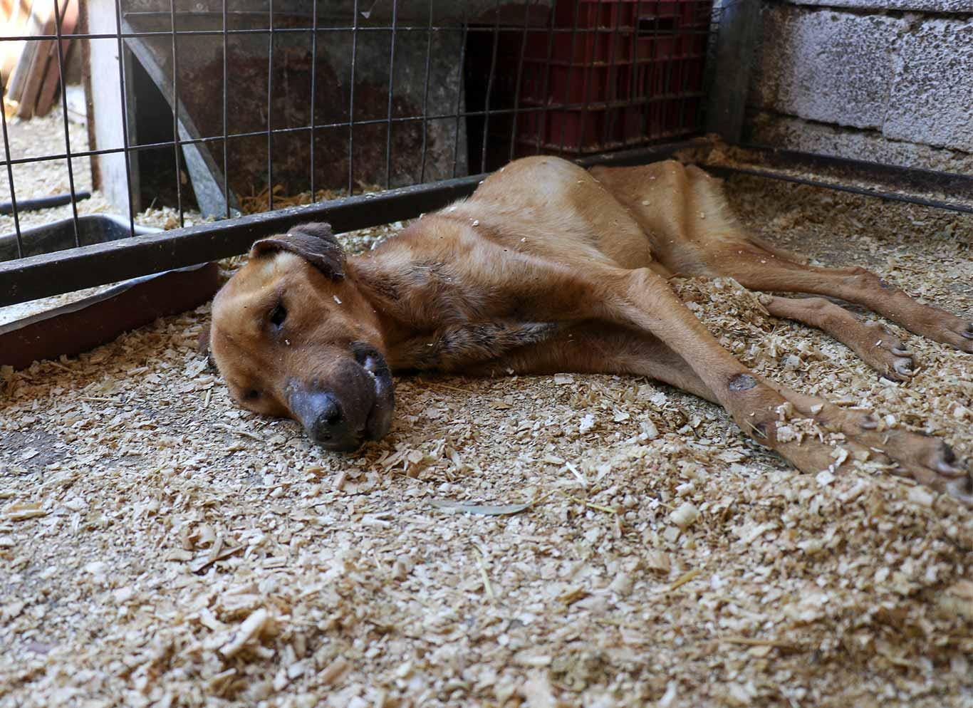 Poor Willy was skeletal, covered with mange and so weak he could barely stand... 2