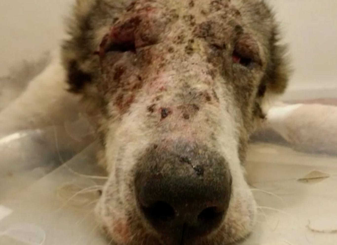 Poor Willy was skeletal, covered with mange and so weak he could barely stand... 3