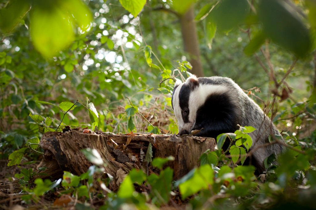 Volunteers needed to Assist Badgers