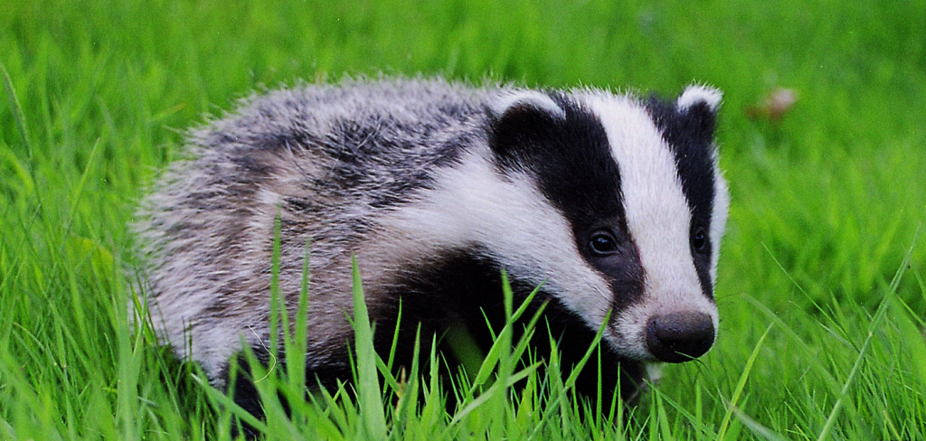 Tories expand cruel and pointless badger cull 8