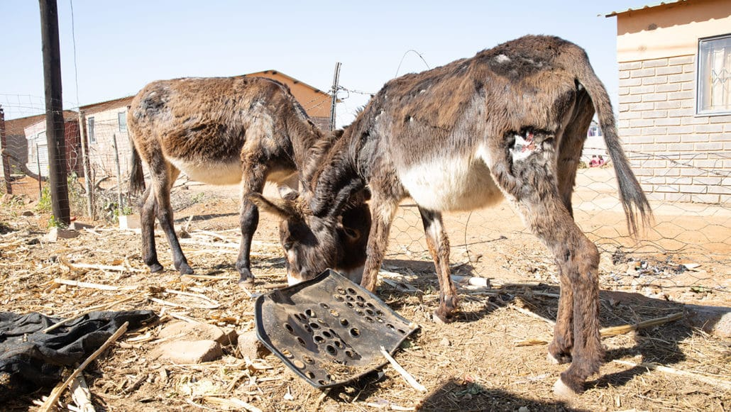 "Frightened, starved, abused… tortured, maimed and left to die - the ""life"" of a Bela Bela donkey! 6"