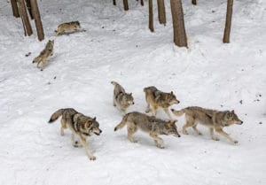 Wolves in Serbia 1