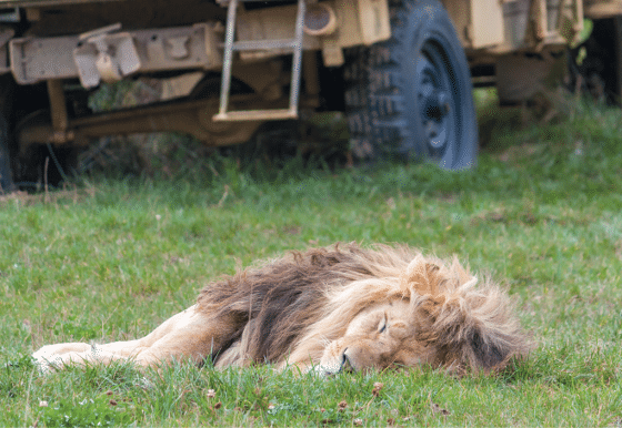 Another victim of canned lion hunting
