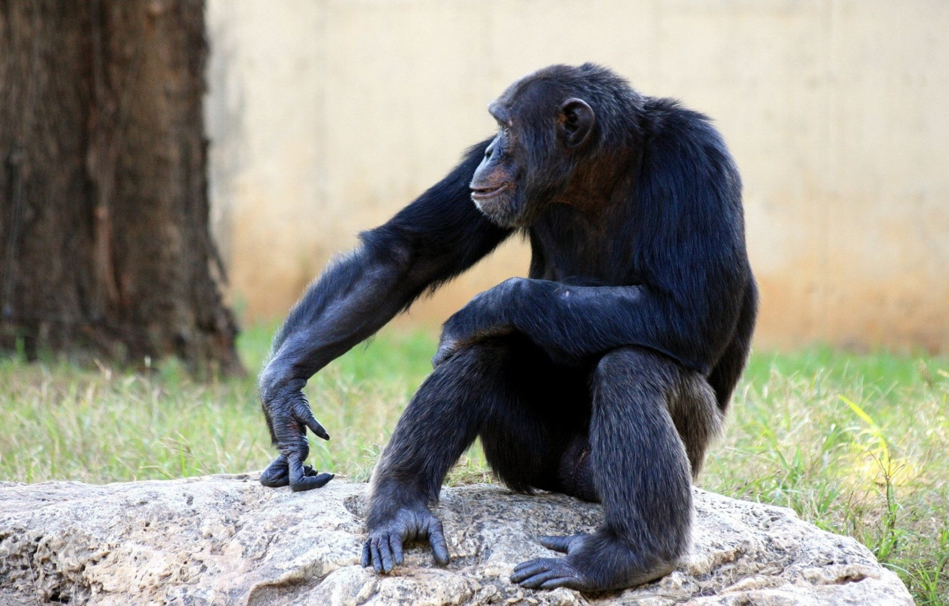 COVID-19 a threat to great ape populations, researchers warn 1