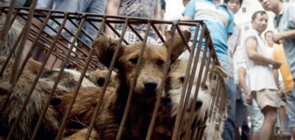 Yulin is the evil headquarters of China's animal cruelty 5