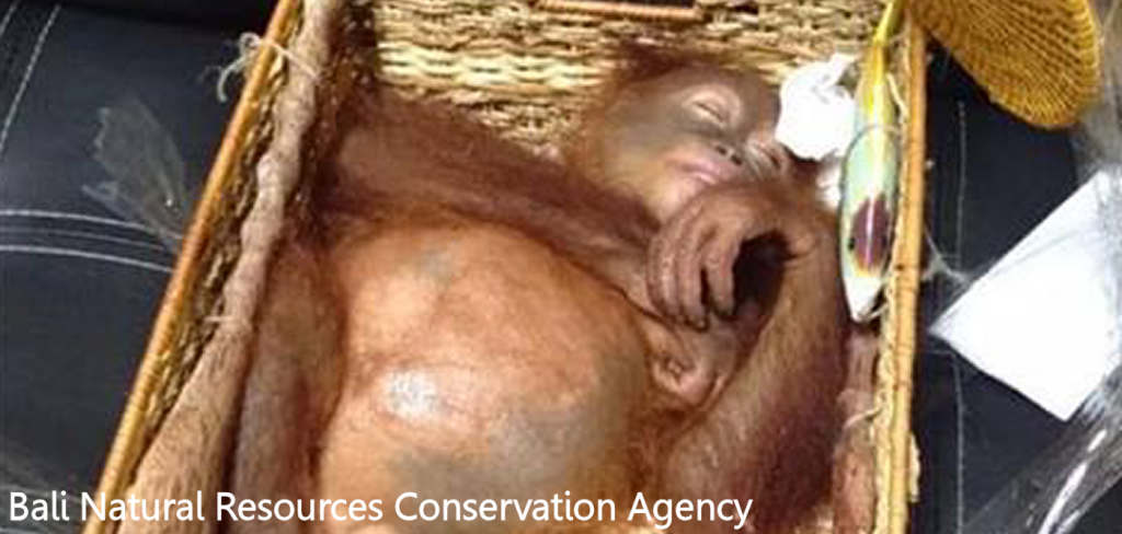 Drugged orangutan found in suitcase 2