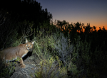 African lynx