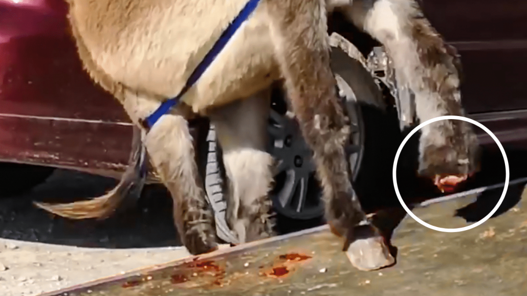 Pregnant donkey loses a foot